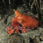 polpessa 46 150x150 Octopus macropus, Polpessa