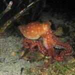 polpessa 48 150x150 Octopus macropus, Polpessa