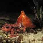 polpessa 49 150x150 Octopus macropus, Polpessa