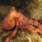 polpessa 53 150x150 Octopus macropus, Polpessa