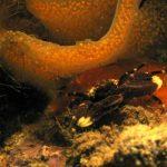 porcellana pisidia corrnalunghe 01 150x150 Pisidia cornalunghe