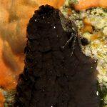 porcellana pisidia scura 04 150x150 Pisidia scura