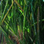 posidonia 40 150x150 Posidonia oceanica