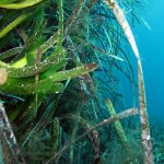 posidonia 42 150x150 Posidonia oceanica