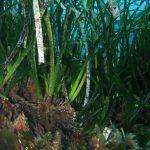 posidonia matte 14 150x150 Posidonia oceanica matte