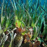 posidonia matte 16 150x150 Posidonia oceanica matte