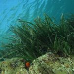 posidonia matte 19 150x150 Posidonia oceanica matte
