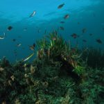 posidonia matte 35 150x150 Posidonia oceanica matte