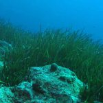 posidonia oceanica 14 150x150 Posidonia oceanica