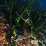 posidonia oceanica 34 150x150 Posidonia oceanica