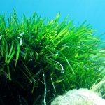 posidonia oceanica 50 150x150 Posidonia oceanica