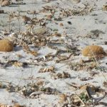 posidonia residui 06 150x150 Posidonia oceanica residui a terra egagropili e banquettes
