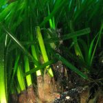 posidonia rizomi 05 150x150 Posidonia oceanica rizomi