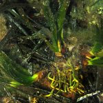 posidonia rizomi 08 150x150 Posidonia oceanica rizomi