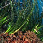 posidonia rizomi 22 150x150 Posidonia oceanica rizomi