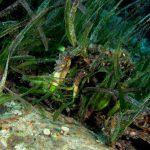 posidonia rizomi 31 150x150 Posidonia oceanica rizomi