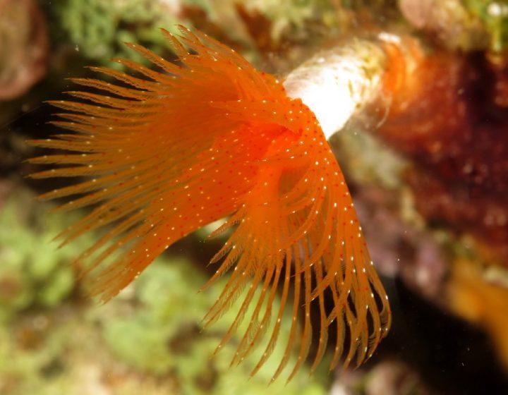 Anellidi Archivi Biologia marina del Mediterraneo