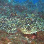 rana pescatrice 10 150x150 Lophius piscatorius   Rana pescatrice