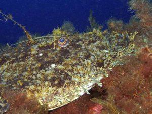 rana pescatrice 11 300x225 Lofiformi