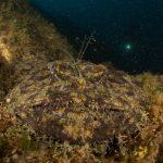 rana pescatrice 28 150x150 Lophius piscatorius   Rana pescatrice