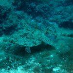 rana pescatrice 33 150x150 Lophius piscatorius   Rana pescatrice