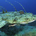 rana pescatrice 36 150x150 Lophius piscatorius   Rana pescatrice