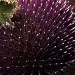 riccio di prateria 15 150x150 Sphaerechinus granularis   Riccio di prateria