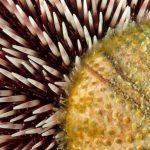 riccio di prateria 22 150x150 Sphaerechinus granularis   Riccio di prateria