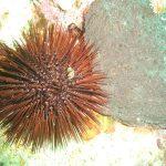 riccio femmina 02 150x150 Paracentrotus lividus, Riccio femmina