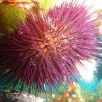 riccio femmina 05 150x150 Paracentrotus lividus, Riccio femmina