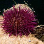 riccio femmina 08 150x150 Paracentrotus lividus, Riccio femmina