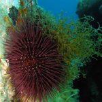 riccio femmina 09 150x150 Paracentrotus lividus, Riccio femmina