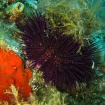 riccio femmina 12 150x150 Paracentrotus lividus, Riccio femmina