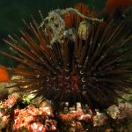 riccio femmina 15 150x150 Paracentrotus lividus, Riccio femmina