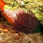 riccio femmina 16 150x150 Paracentrotus lividus, Riccio femmina
