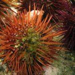 riccio femmina 18 150x150 Paracentrotus lividus, Riccio femmina