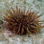 riccio femmina 19 150x150 Paracentrotus lividus, Riccio femmina