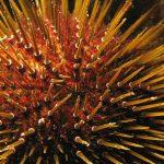 riccio femmina 21 150x150 Paracentrotus lividus, Riccio femmina