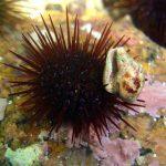riccio femmina 22 150x150 Paracentrotus lividus, Riccio femmina