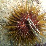 riccio femmina 23 150x150 Paracentrotus lividus, Riccio femmina