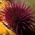riccio femmina 25 150x150 Paracentrotus lividus, Riccio femmina