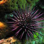 riccio femmina 26 150x150 Paracentrotus lividus, Riccio femmina