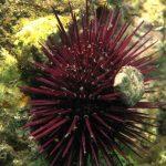 riccio femmina 27 150x150 Paracentrotus lividus, Riccio femmina