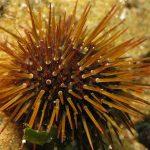 riccio femmina 28 150x150 Paracentrotus lividus, Riccio femmina
