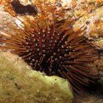 riccio femmina 31 150x150 Paracentrotus lividus, Riccio femmina