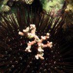 riccio femmina 35 150x150 Paracentrotus lividus, Riccio femmina