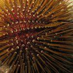 riccio femmina 37 150x150 Paracentrotus lividus, Riccio femmina