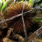 riccio femmina 39 150x150 Paracentrotus lividus, Riccio femmina
