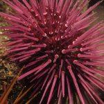 riccio femmina 44 150x150 Paracentrotus lividus, Riccio femmina