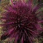 riccio femmina 45 150x150 Paracentrotus lividus, Riccio femmina